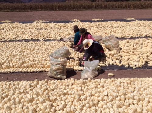 ジャイアントコーン(ジャイコーン)の収穫