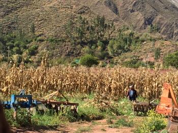 収穫前の畑